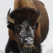 A large male bison, Yellowstone National Park, Wyoming.