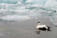 10.06.2008.Common eider (Somateria mollissima) male.Jökulsárlón glacial lagoon.Iceland