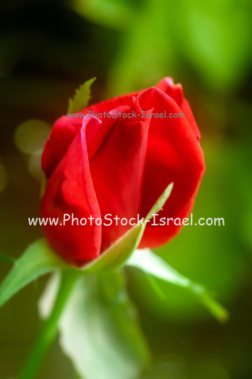 Close up of a home grown 'Chrysler Imperial' Red Rose a strongly fragrant, dark red hybrid tea rose cultivar