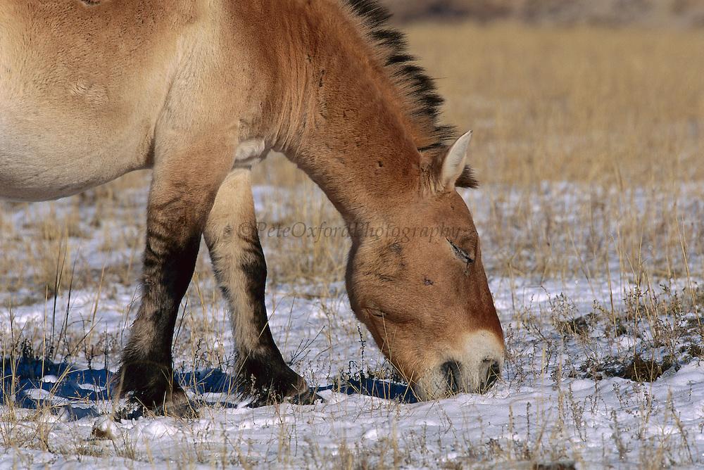 Przewalski's Horse (Equus ferus przewalskii) stallion grazing in winter, Mongolia