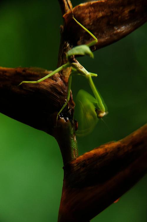 Mantis y heliconia / Parque Nacional Camino de Cruces, Panamá.