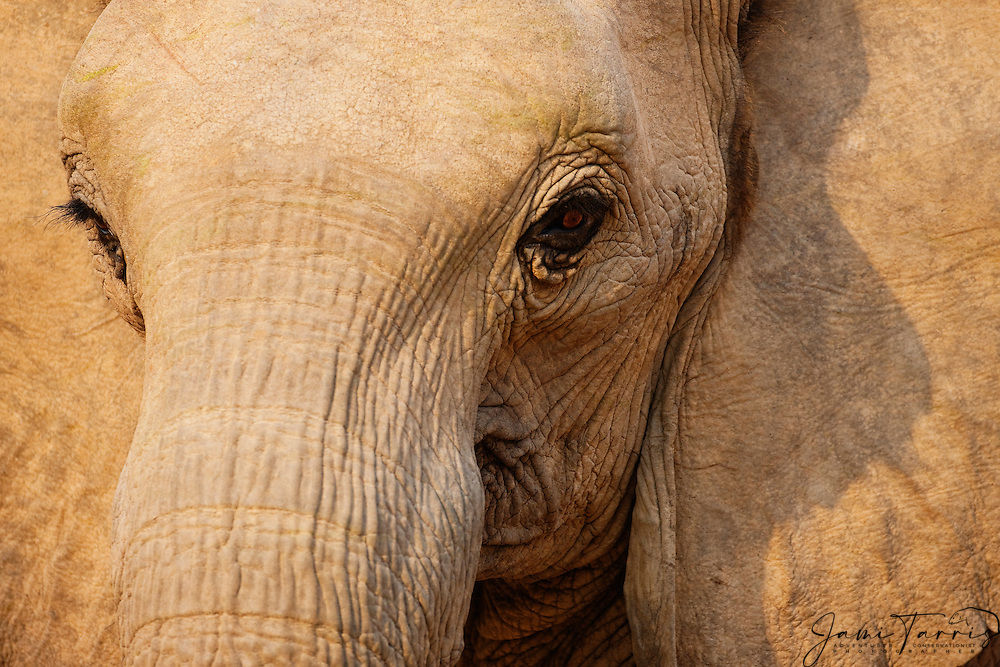 A close-up portrait of a desert-dwelling elephant (Loxodonta africana) in warm evening light,  Skeleton Coast, Namibia,Africa