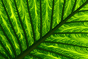 Close-up abstract of a giant green leaf showing its huge bold veins growing in the Gardens of La Mortella, Ischia, Italy