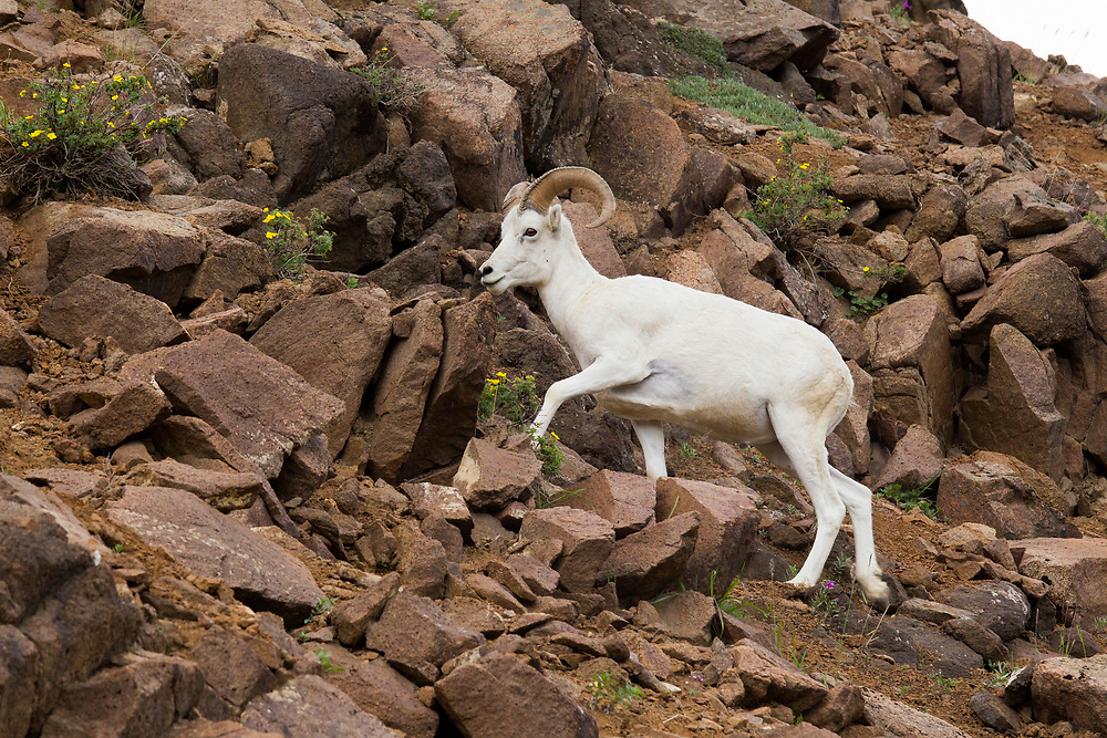 Alaska.  Young Dall Sheep ram (Ovis dalli) walking along a steep rocky slope in Polychrome Pass in Denali National Park in July with several Shrubby Cinqfoil bushes (Potentilla fruticosa) growing among the rocks with bright yellow blossoms.