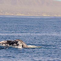 Gray Whale, Eschrichtius robustus, Eastern North Pacific Gray Whale,Laguna Beach, California