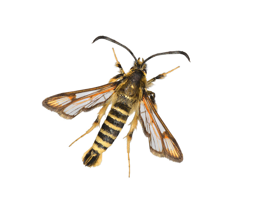Six-belted Clearwing - Bembecia ichneumoniformis<br /> 52.014 BF382