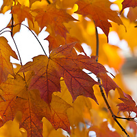 Bright yellow autumn foliage of a Canadian sugar maple (Acer saccharum)