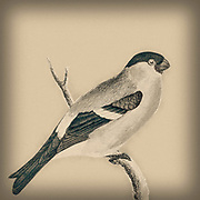 Digitally enhanced illustration on an Eurasian bullfinch (Pyrrhula pyrrhula) artwork