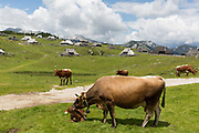 Grazing cows near the collection of Slovenian herders mountain huts in Velika Planina, on 26th June 2018, in Velika Planina, near Kamnik, Slovenia. Velika Planina is a mountain plateau in the Kamnik–Savinja Alps - a 5.8 square kilometres area 1,500 metres 4,900 feet above sea level. Otherwise known as The Big Pasture Plateau, Velika Planina is a winter skiing destination and hiking route in summer. The herders huts became popular in the early 1930s as holiday cabins known as bajtarstvo but these were were destroyed by the Germans during WW2 and rebuilt right afterwards by Vlasto Kopac in the summer of 1945.