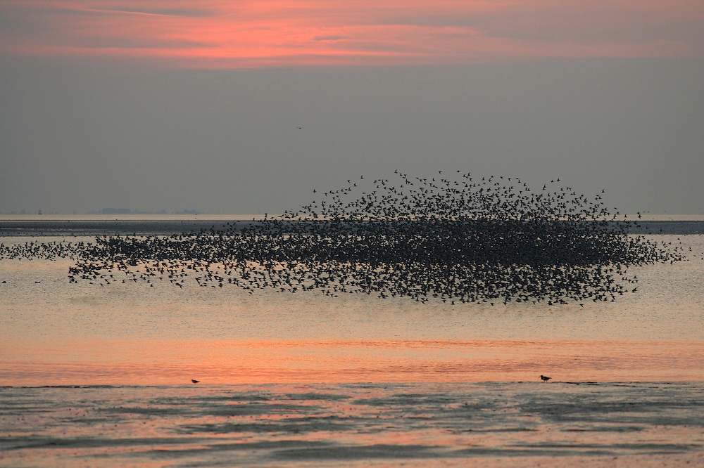 Wader Flock - The Wash, Norfolk