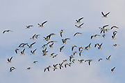Flock of Black Skimmers.(Rynchops niger).Back Bay, California
