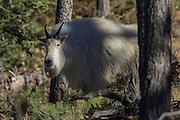 Rocky Mountain Goats in Habitat