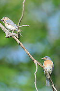 Male and Female Eastern Bluebird on branch in upstate NY. They were out catching food for their nestlings.