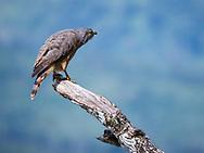 Roadside Hawk (Rupornis magnirostris) hunting from a perch at Rancho Naturalista, Costa Rica.