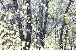 Backlit leaves in spring, Texas Buckeye Trail, Great Trinity Forest, Dallas, Texas, USA.