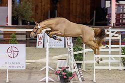 001, Salvador van de Hemel<br /> BWP Hengstenkeuring 2021<br /> © Hippo Foto - Dirk Caremans<br />  12/01/2021