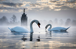 © Licensed to London News Pictures. 27/11/2020. London, UK. Swans feed in the water surrounding the Diana Fountain in Bushy Park, south west London. Parts of the UK are experiencing freezing weather and low temperatures. Photo credit: Peter Macdiarmid/LNP