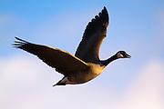 Canada Goose, Montana