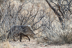 Javelina or collared peccary in brush, Ladder Ranch, west of Truth or Consequences, New Mexico, USA.