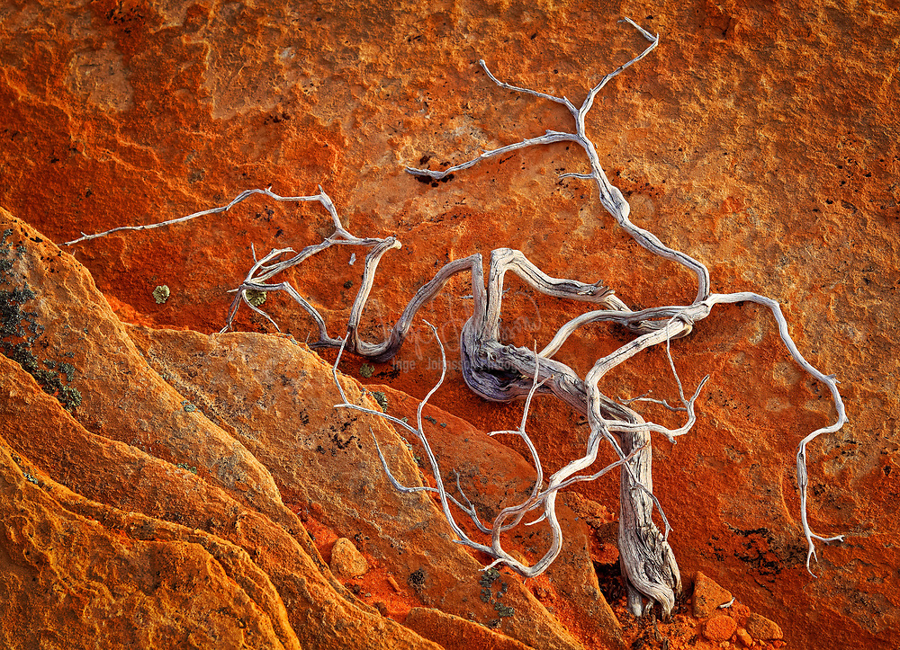 Dead juniper in the South Coyote Buttes unit of the Vermillion Cliffs National Monument