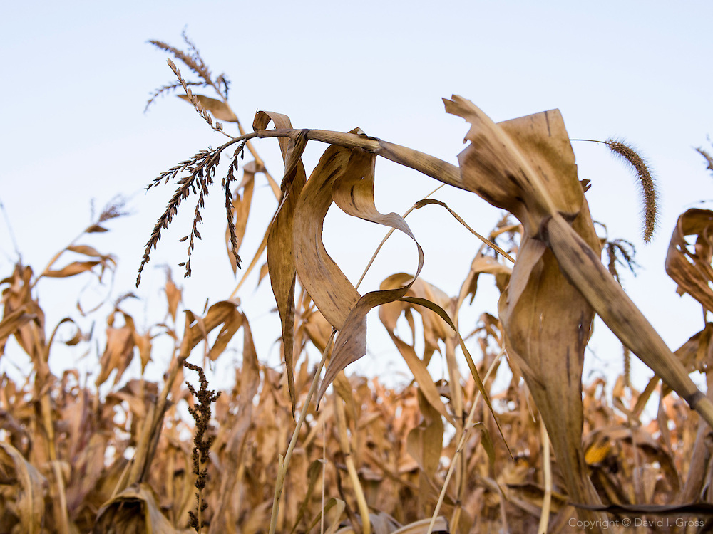 A drying corn field waits for harvest in southern Minnesota. By chance, Northfield has received rain while areas only a few hours south are suffering record droughts.