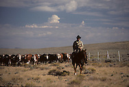 A cattle drive in Wyoming in 1985...Photograph by Dennis Brack  bb26