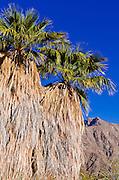 Palm oasis at the visitor center, Anza-Borrego Desert State Park, California USA