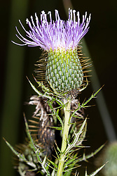 Field thistle plant (Cirsium discolor) and blooms