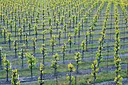 Ottimino Zinfandel Vineyard in the Green Valley Russian River AVA, Occidental, California
