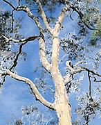 Wind Blown Eucalypt Tree in Australian bush