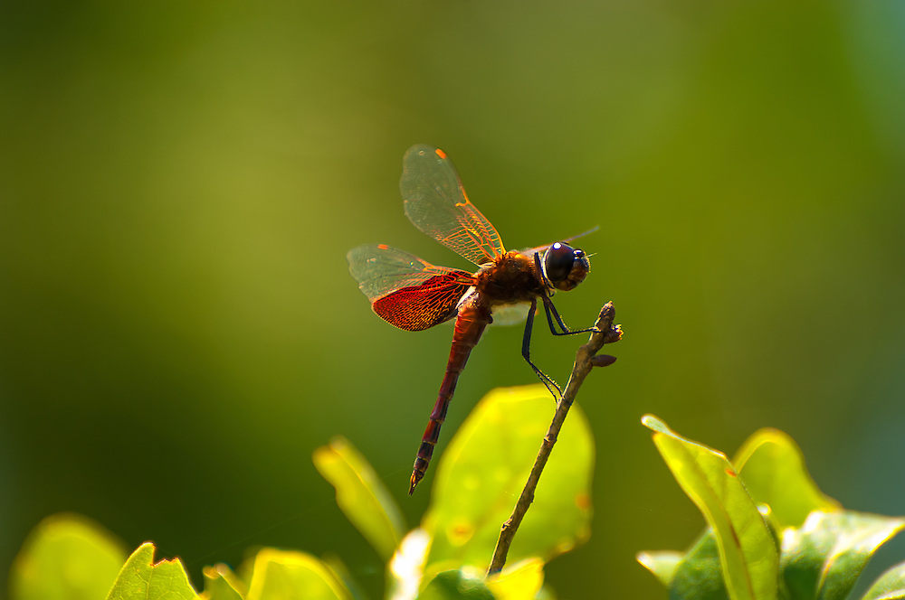 Found throughout the Eastern United States and some of the Canadian provinces, this large attractive dragonfly was photographed in the wild and swamp-like Tate's Hell State Forest in Northern Florida on the Gulf Coast.