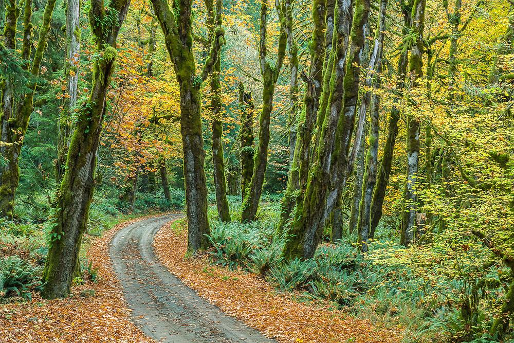 Bigleaf maple trees (Acer macrophyllum), October, Whiskey Bend Road, Olympic National Park, WA, USA