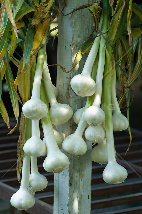 elephant garlic drying on a wooden post