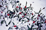 Tulips covered with spring snow, Almaty
