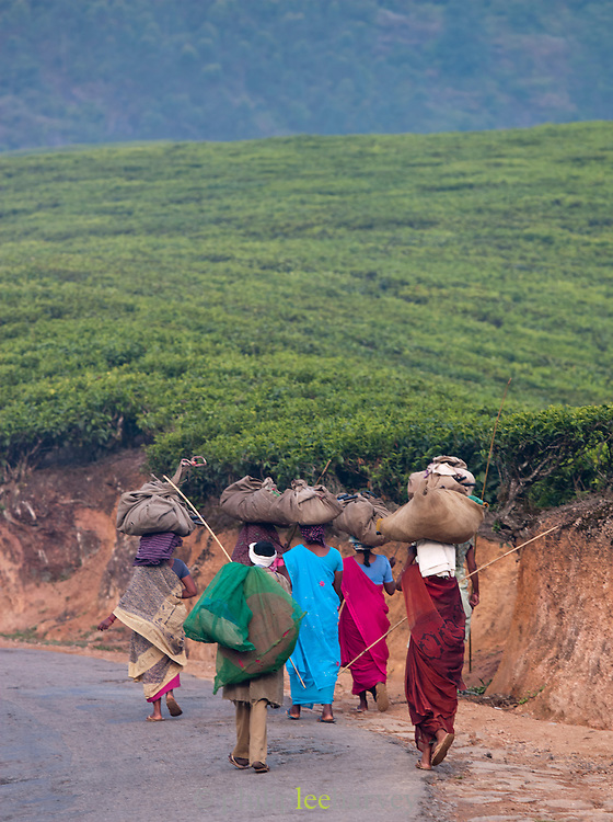 Tea pickers arrive at the plantation early in the morning, in Munnar, a hill station in Kerala, India