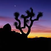 Sunset silhouettes a joshua tree - moonrise above - in Joshua Tree National Park, CA.