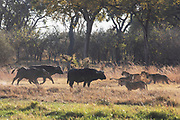 A pride of lions (Panthera leo) facing off with a small herd of Cape buffalo (Syncerus caffer) , Okavango Delta, Moremi, Botswana