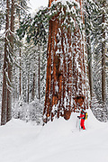 Skier and giant sequoia in the Tuolumne Grove, Yosemite National Park, California USA