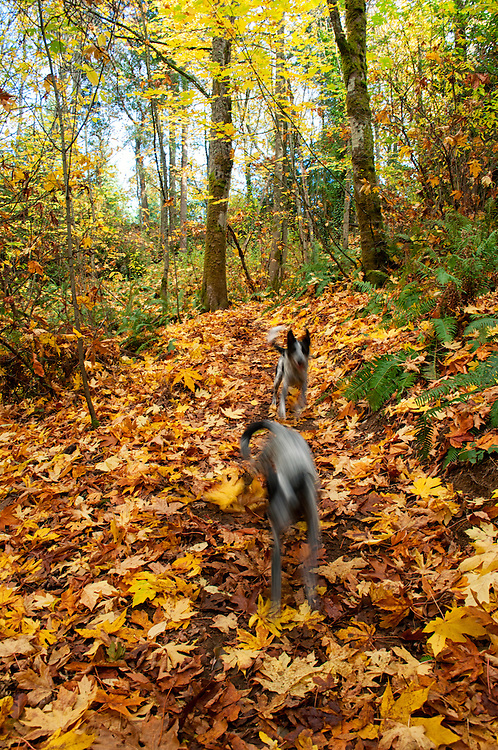 My two dogs, Lilly and Lobo, go for a romp through the fall color of Bigleaf Maples in Boeing Creek Park, Shoreline, Washington