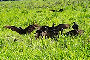 Black vulture (Coragyps atratus). near a carcass on the ground. These birds of prey range from the southeastern USA to Central Chile and Uruguay in South America. Photographed in Costa Rica in June