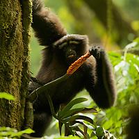 Eastern Hoolock Gibbon