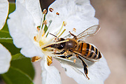 A honey bee is collecting nectar from a Quince tree flower in The Valley of the Cross in Jerusalem.