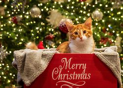 Ginger Kitten in Merry Christmas Box In Front Of The Christmas Tree