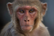 Rhesus macaques monket resident of a temple dedicated to the Hindu monkey god Hanuman on 22nd February 2018 in Jaipur, Rajasthan, India. This is one of the most famous Monkey God temples because a tribe of his present day monkey relatives resides there. Galtaji is an ancient Hindu pilgrimage about 10 km away from Jaipur centre. Rhesus macaques are native to India, Bangladesh, Pakistan, Nepal, Myanmar, Thailand, Afghanistan, Vietnam, southern China, and some neighboring areas. They have the widest geographic ranges of any non-human primate, occupying a great diversity of altitudes throughout Central, South, and Southeast Asia.