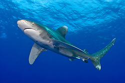 Oceanic Whitetip Shark, Carcharhinus longimanus. Once common throughout the world's deep tropical and subtropical seas, their population has been decimated by commercial fishing in recent years, particularly longlining. Bahamas, Atlantic Ocean
