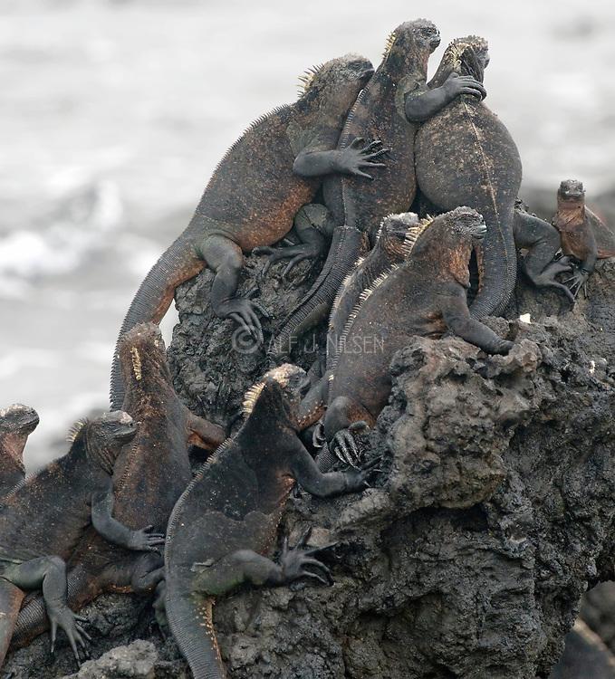 Marine Iguana (Amblyrhynchus cristatus) at the small island of Tintoreras off Villamil, Isabela, Galapagos.
