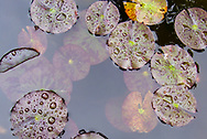 Water lily leaves collect raindrops on a small koi pond, hidden in a historic garden of Old Monterey, California