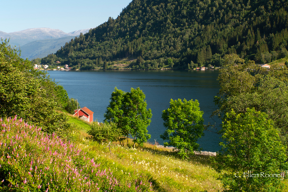 A view over a hill of wildflowers to Ese Fjord and distant mountains,  Vestlandet, Norway