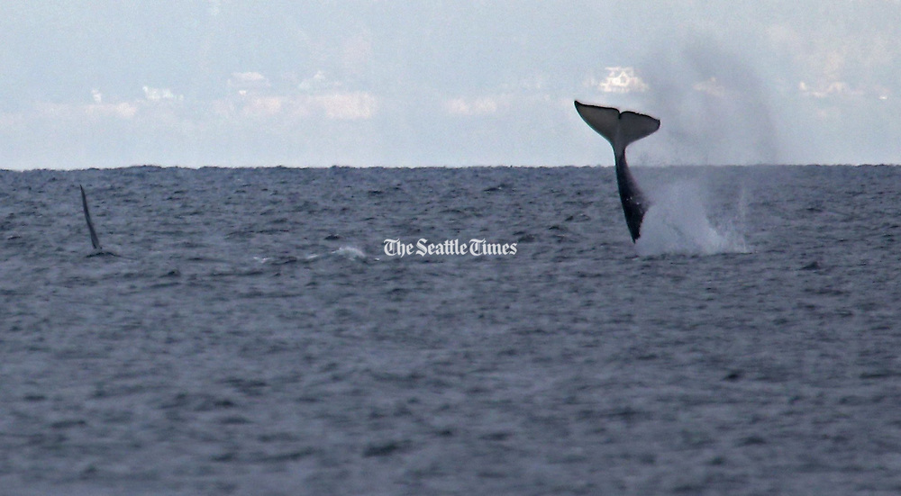An orca whale swims by another flipping its tail in the air, in Elliott Bay, as viewed from Alki, Thurs in West Seattle. <br /> <br /> Ken Lambert / The Seattle Times