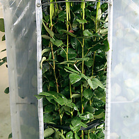 South America, Ecuador, Cayambe. Long Stem Roses in rack at Rosadex Rose Plantation.